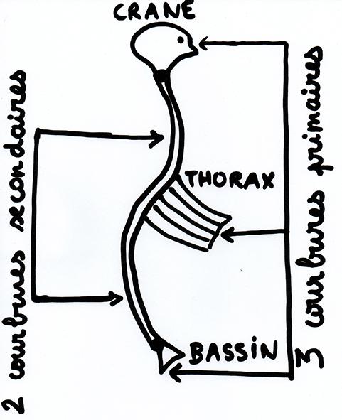 2 - Le thorax